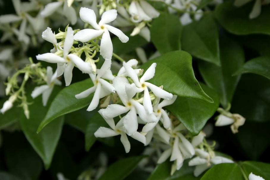 comment planter jasminum multipartitum