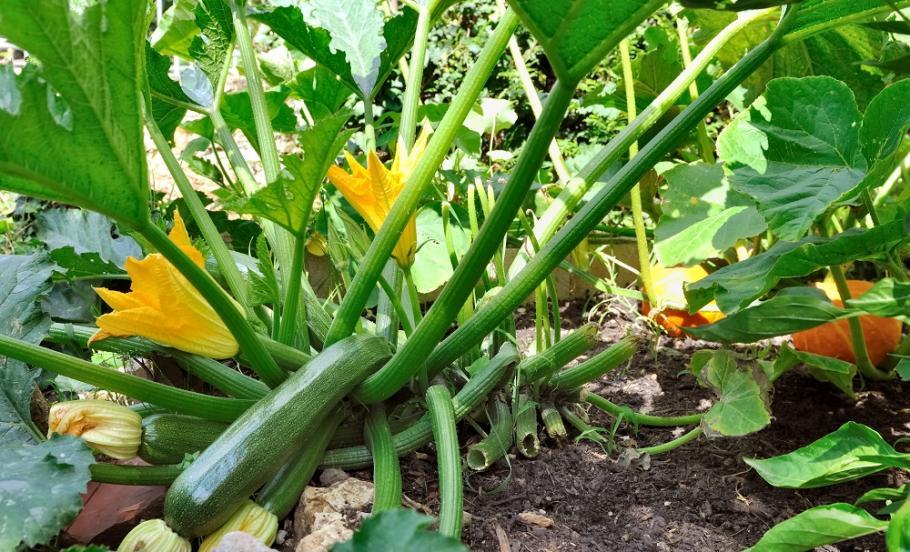 Entretien des courgettes gamm vert - Maladie de la courgette ...