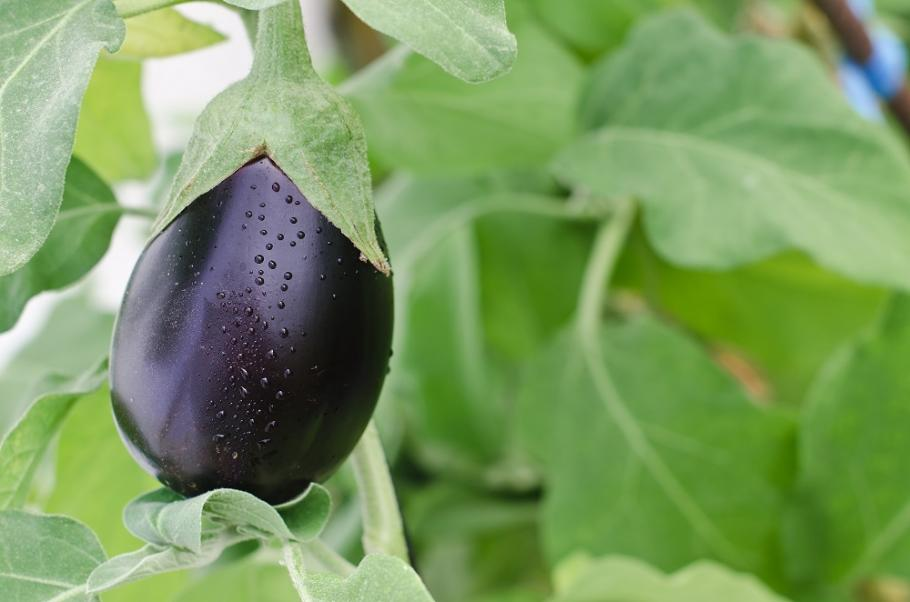 planter les aubergines | le magazine — gamm vert