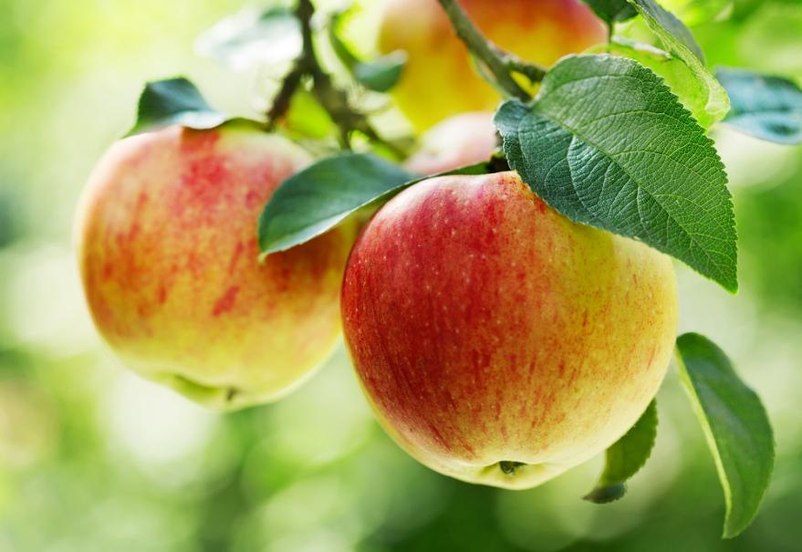 Eclaircir les fruits du pommier gamm vert - Pommier du japon fruit ...