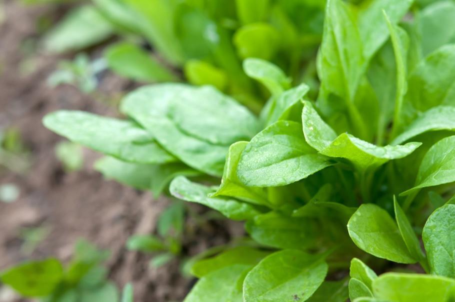 Semer et planter l 39 oseille gamm vert - Planter de l oseille ...