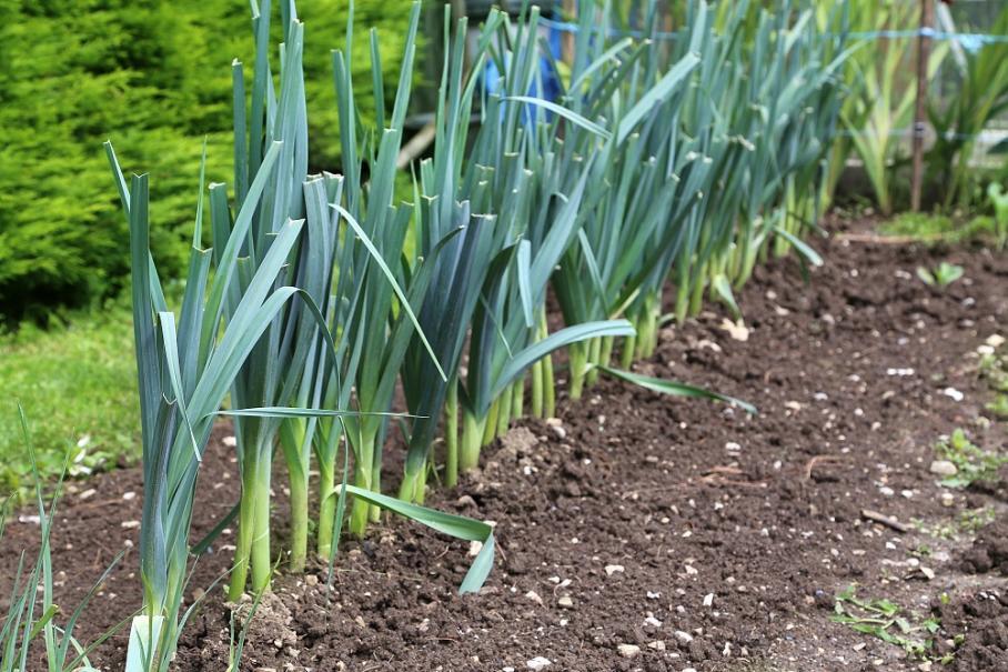 Semer et planter les poireaux | Gamm vert