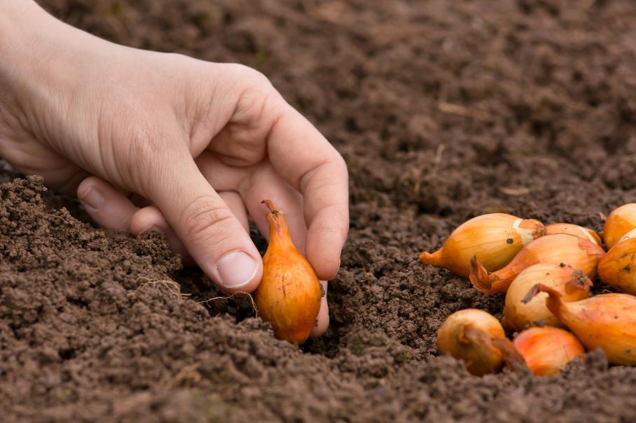 Quand recolter oignon blanc quand recolter oignon blanc - Quand semer les oignons ...