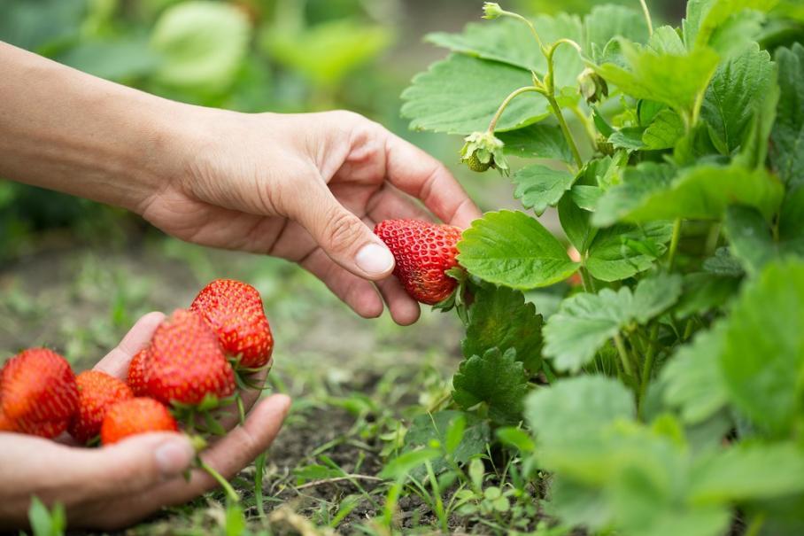 Comment avoir de belles fraises gamm vert - Comment congeler des haricots verts frais du jardin ...