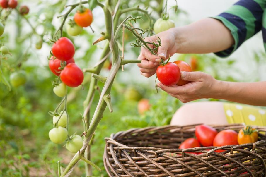 R colter les tomates gamm vert - Comment faire grossir les tomates ...