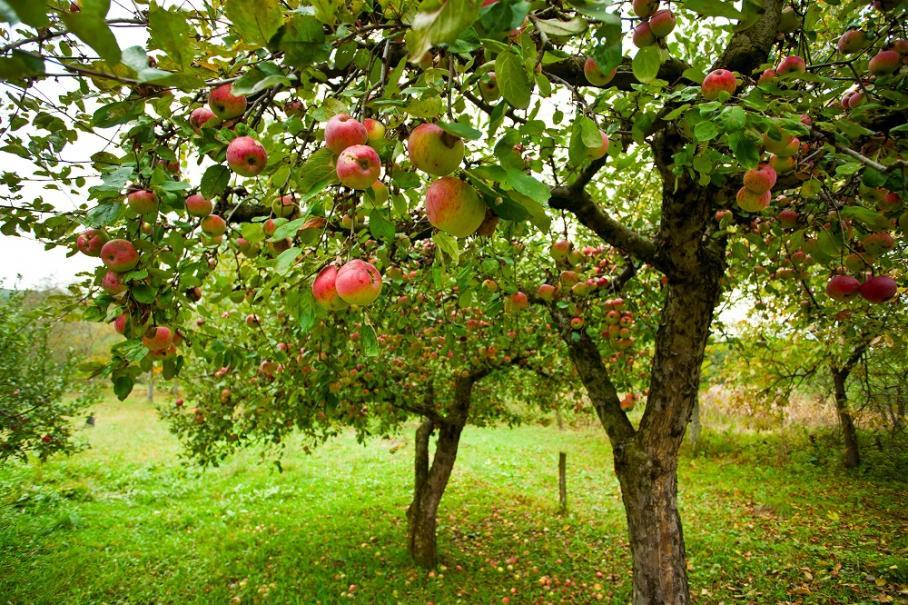 Choisir son arbre fruitier gamm vert for Arbre fruitier