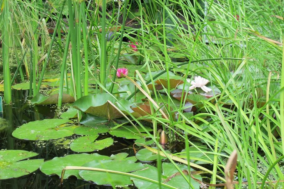 Plantes aquatiques (lotus, nénuphars...) et bassins | Gamm vert