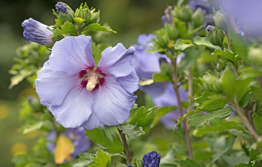 Hibiscus - Plante d\'extérieur | Gamm vert