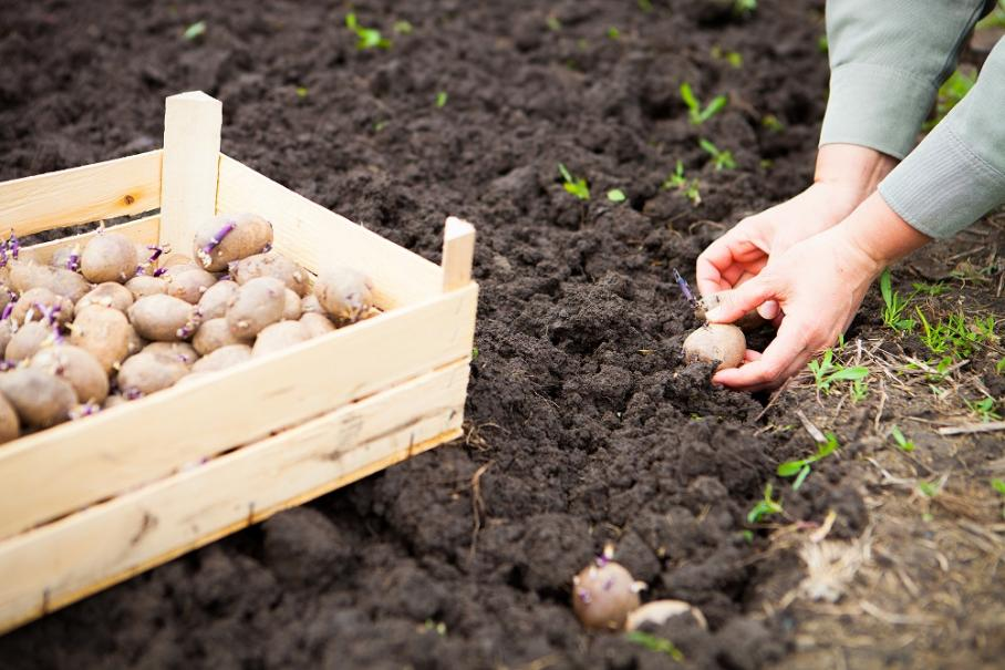 Faire germer les pommes de terre gamm vert - Faire germer pomme de terre ...