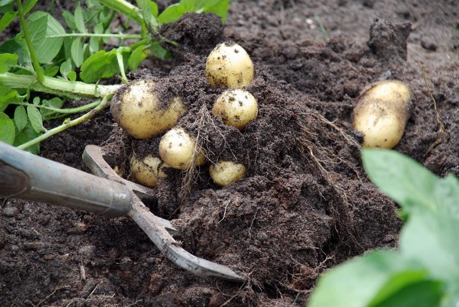 Quelles variétés de pommes de terre planter ?   Gamm vert