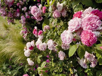 mon rosier ne fleurit plus gamm vert. Black Bedroom Furniture Sets. Home Design Ideas