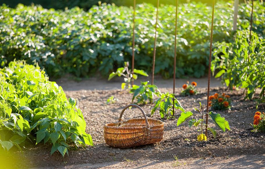 quand planter herbes aromatiques heuchres plantation. Black Bedroom Furniture Sets. Home Design Ideas