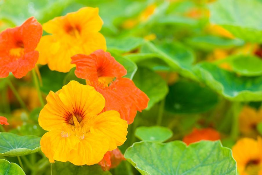 Capucine gamm vert for Calendrier entretien jardin