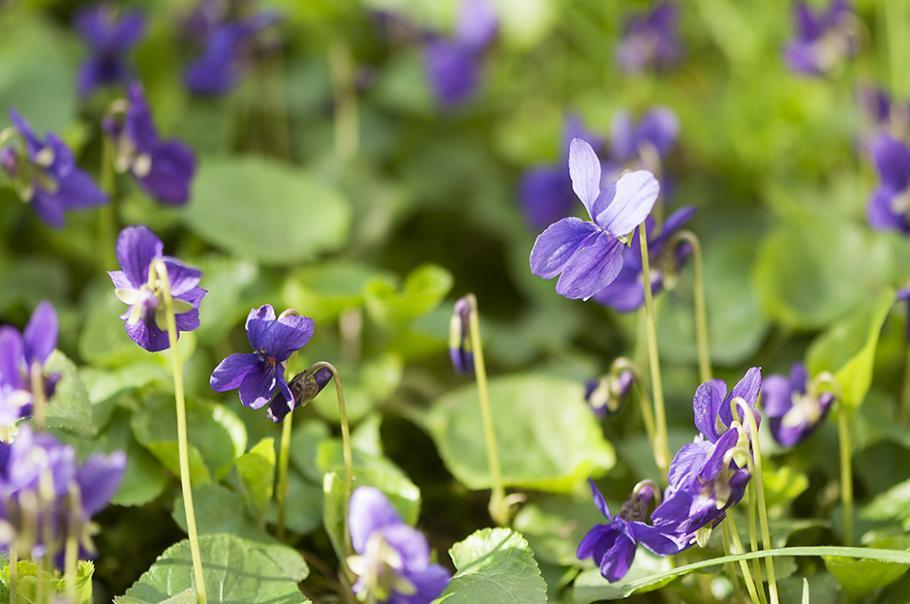 Plante Exterieur Fleur Violette