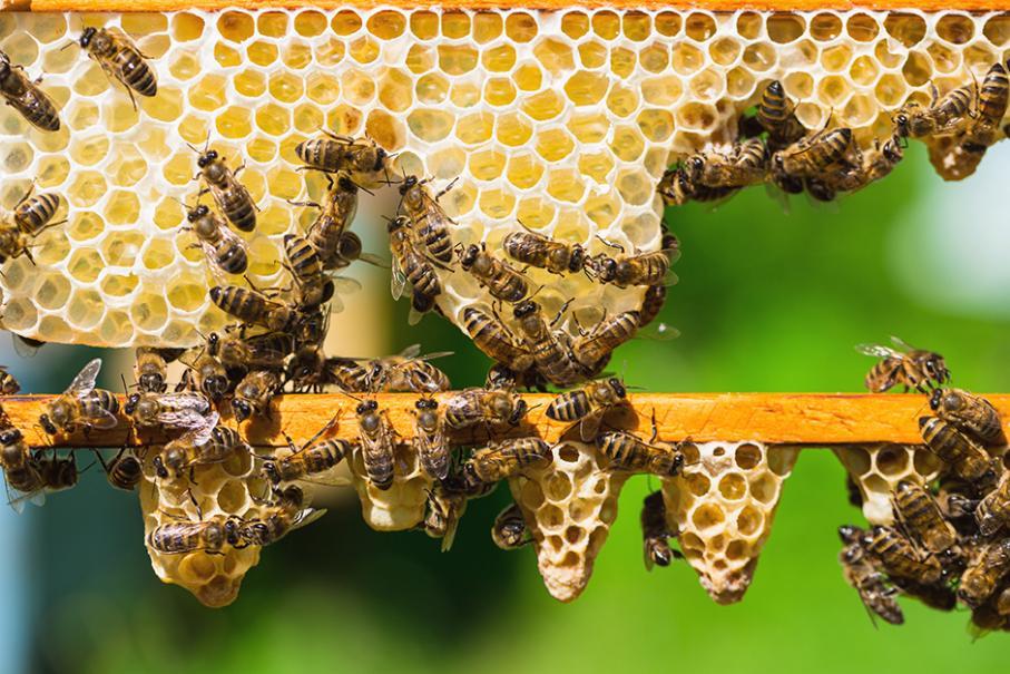 comment les abeilles font elles de la cire gamm vert. Black Bedroom Furniture Sets. Home Design Ideas