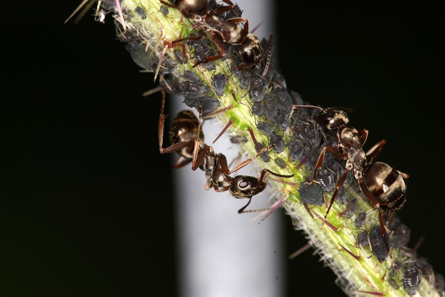 Les Fourmis Et Les Pucerons Gamm Vert
