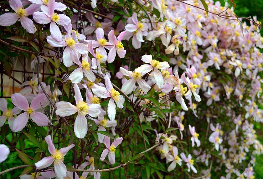 Les 8 Meilleures Plantes Grimpantes Parfumees Gamm Vert
