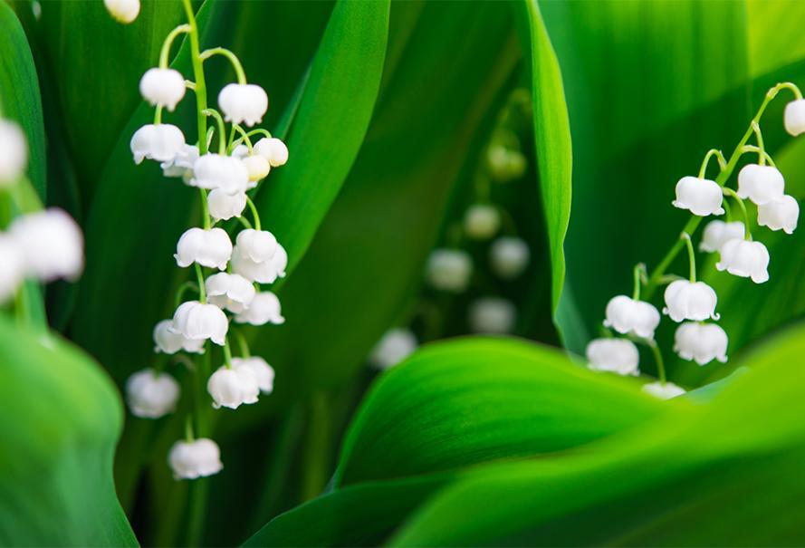 Planter Le Muguet Gamm Vert