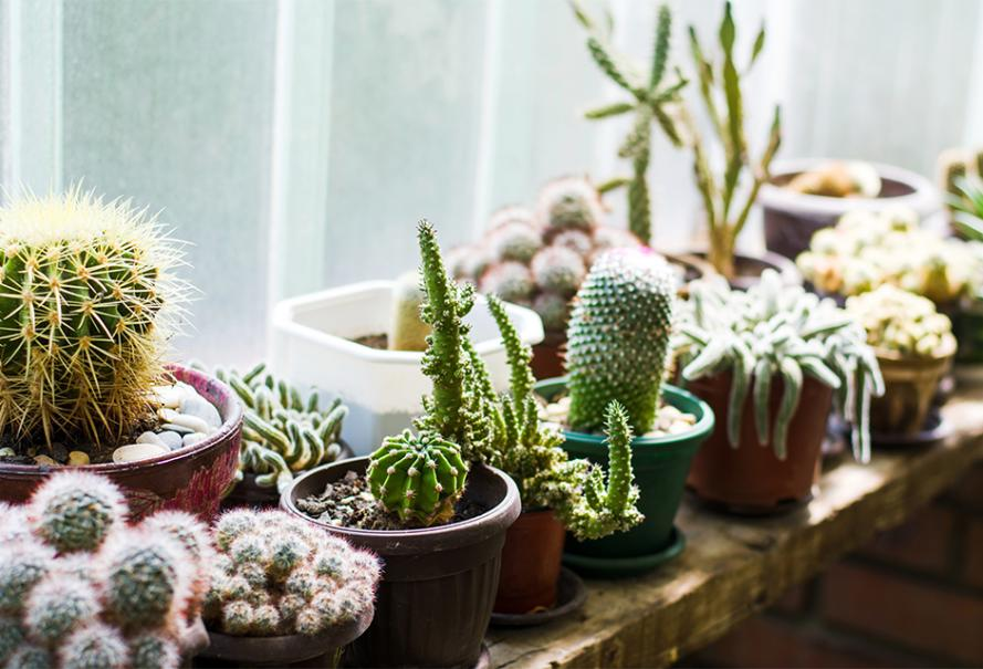 Cactus Plante D Interieur Gamm Vert