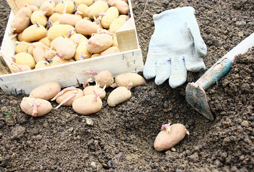 planter les pommes de terre   gamm vert