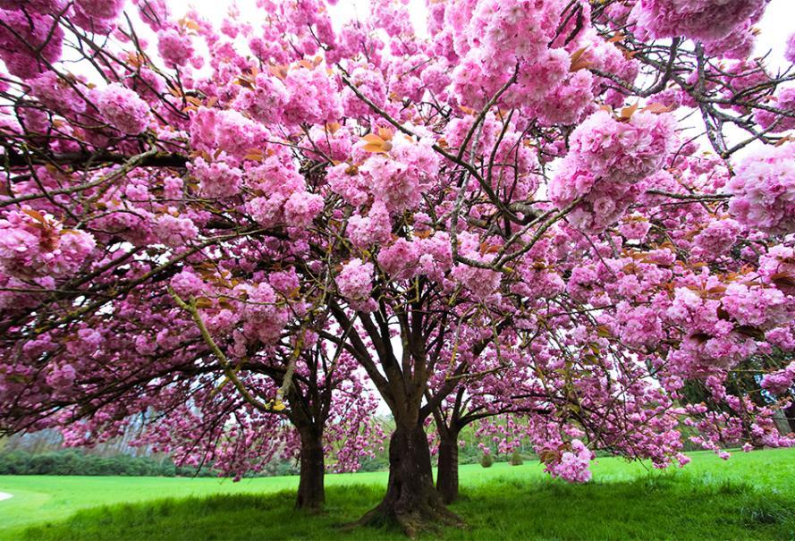 Arbre du japon fleur rose