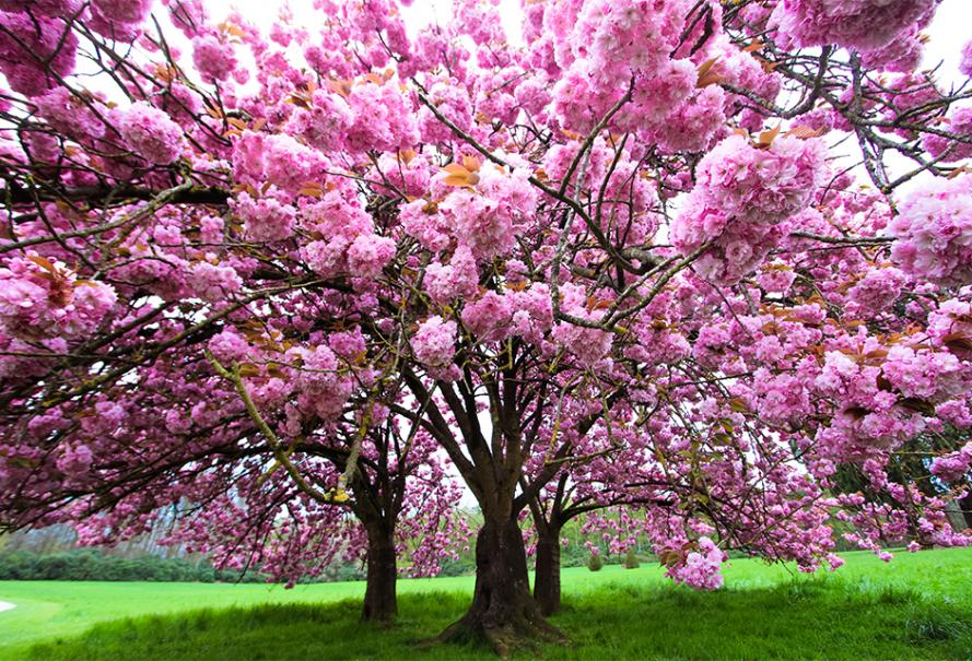 Que  suis -je  - 16 janvier  - ajonc bravo Martine  AdobeStock_165319914-cerisier_0