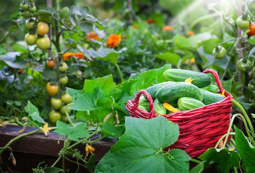 Bien Associer Les Legumes Au Potager Gamm Vert