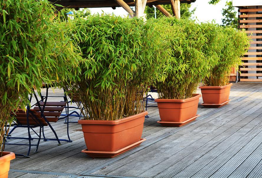 Bambou en pot taille