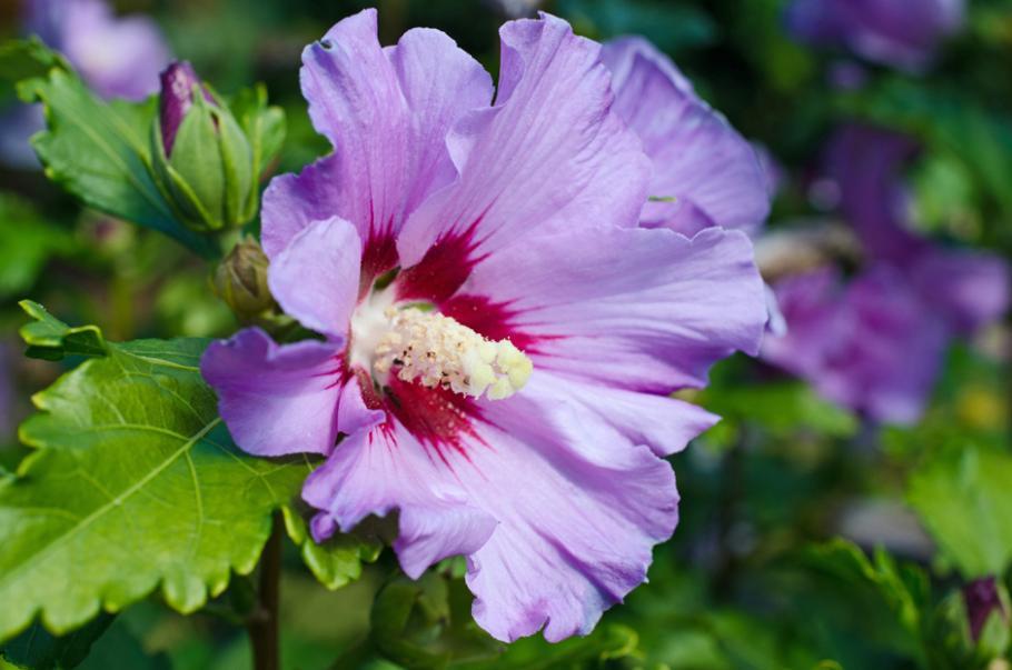 Planter des hibiscus de jardin ou Althéa | Gamm vert