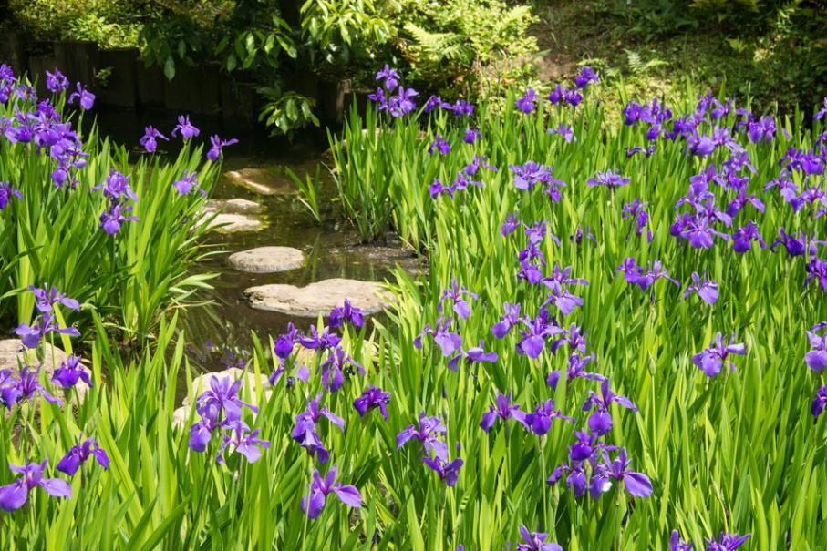 Les iris d'eau
