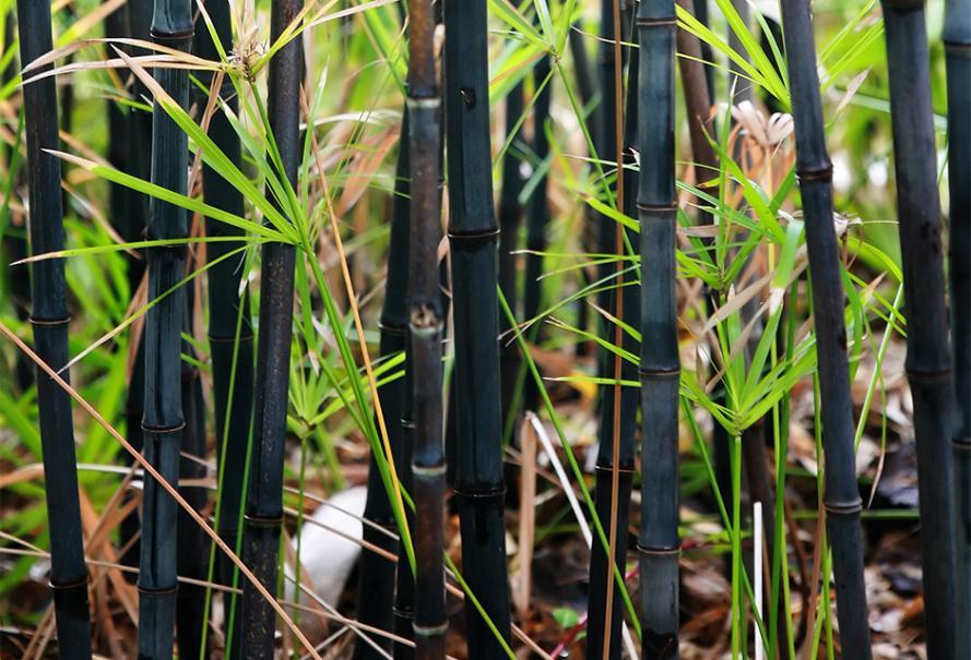 La Bouture Du Bambou Gamm Vert