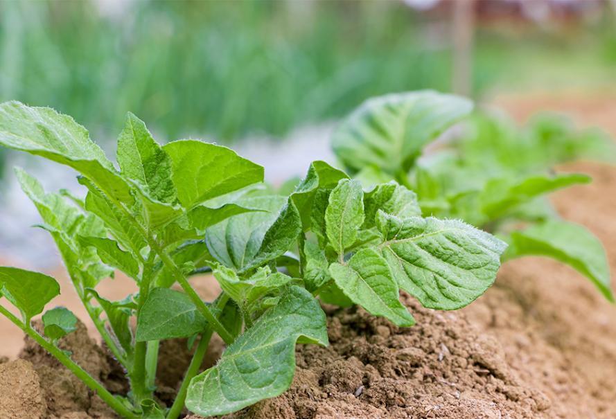 Entretien des pommes de terre   Gamm vert