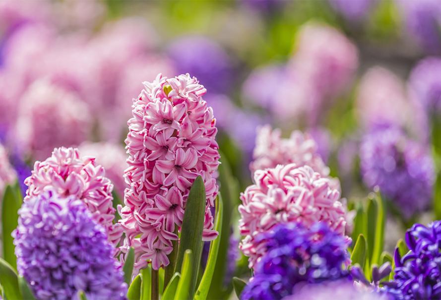 Coloriage Fleurs Bulbe.Jacinthe Plante D Exterieur Gamm Vert