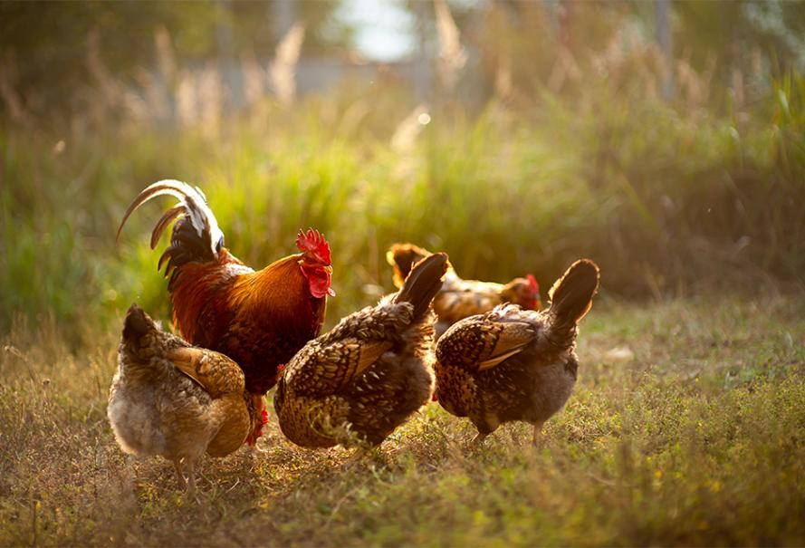 Les vermifuges pour poules   Gamm vert