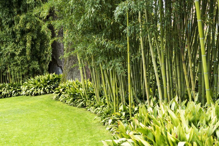 Haie de bambous : plantation, taille | Gamm vert