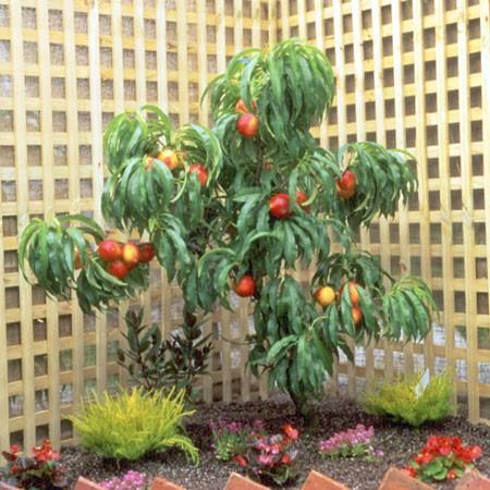Taille des arbres fruitiers nains | Gamm vert