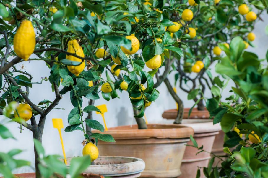 Planter un citronnier en pot   Gamm vert