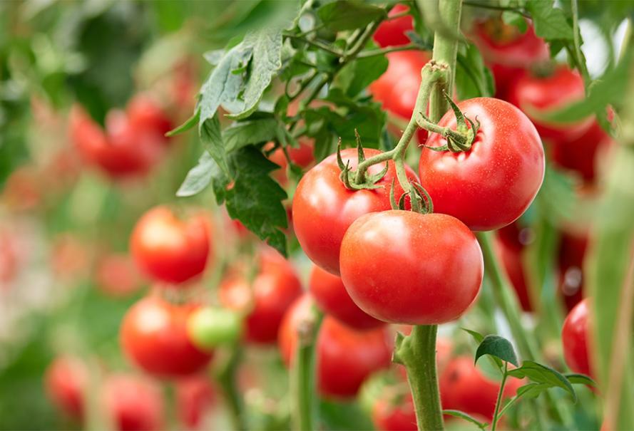 Tomate - Planta de exterior |  Verde gamm