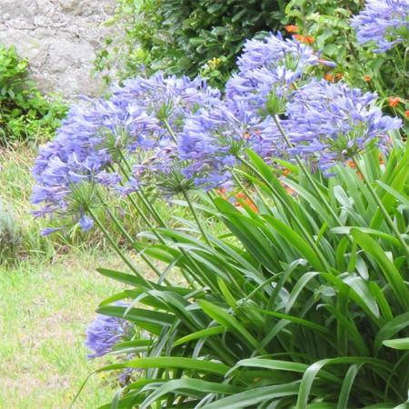 Planter des agapanthes le magazine gamm vert for Conseil plantation jardin