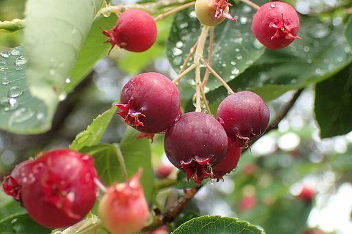 arbuste boule rouge