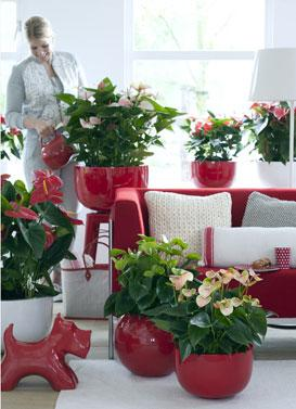 maladies de l 39 anthurium gamm vert. Black Bedroom Furniture Sets. Home Design Ideas