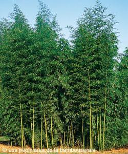 Choisir un bambou pour un rideau de verdure ou un brise vent | Gamm vert