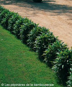 Choisir un bambou pour une bordure gamm vert - Plante de bordure ...