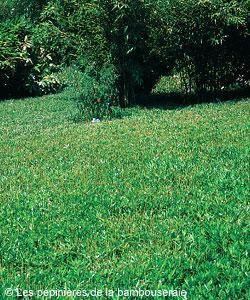 choisir un bambou pour une pelouse ou un couvre sol gamm vert. Black Bedroom Furniture Sets. Home Design Ideas