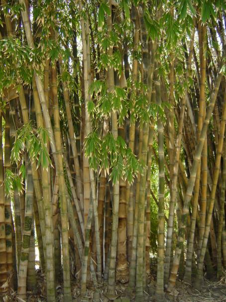 Choisir son bambou le magazine gamm vert - Quel terreau pour bambou ...