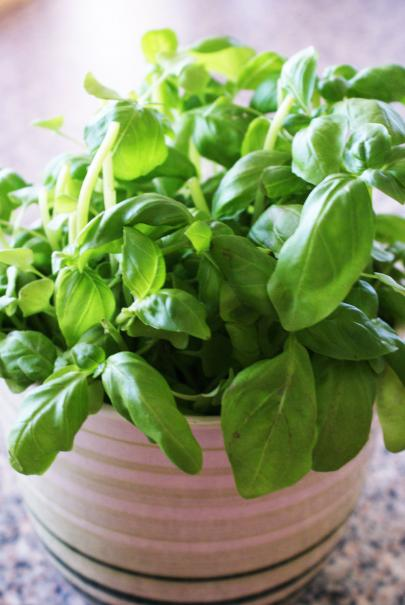 semer le basilic le magazine gamm vert
