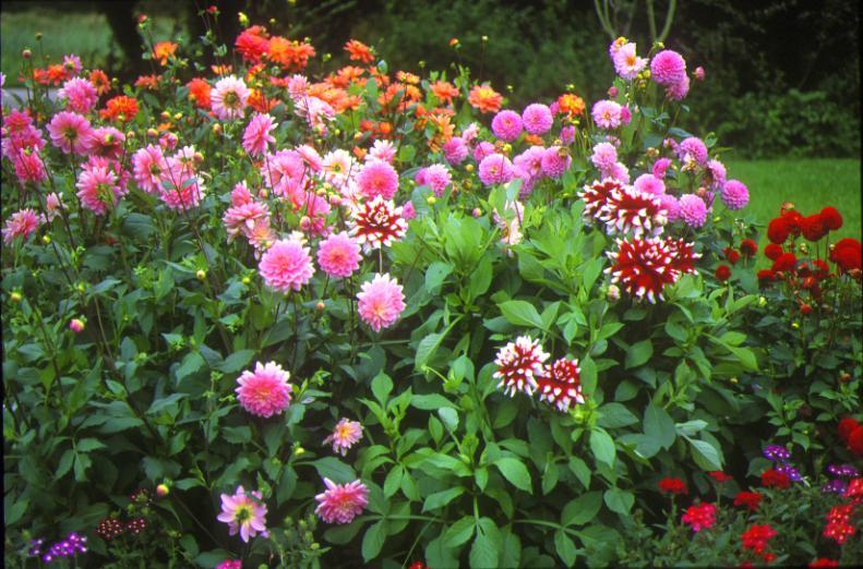 Planter un dahlia le magazine gamm vert - Comment planter des dahlias ...
