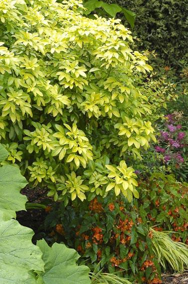 Adoptez Des Arbustes A Feuillage Persistant Gamm Vert