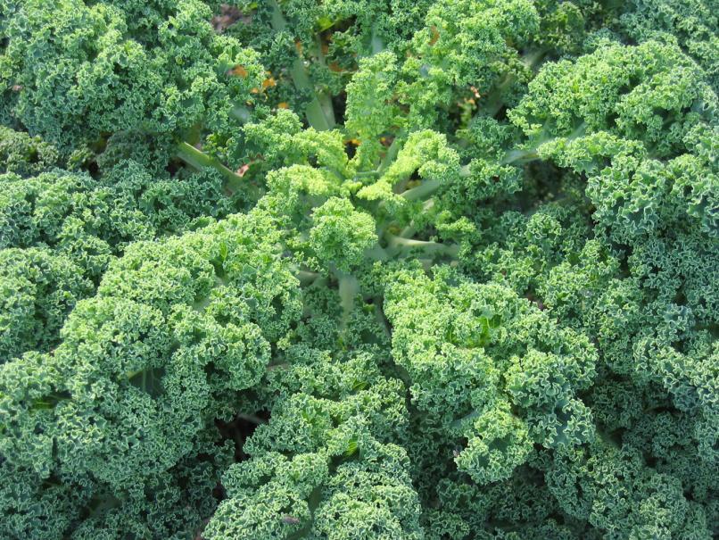 Semer et planter les choux fris s gamm vert - Quand planter des choux ...