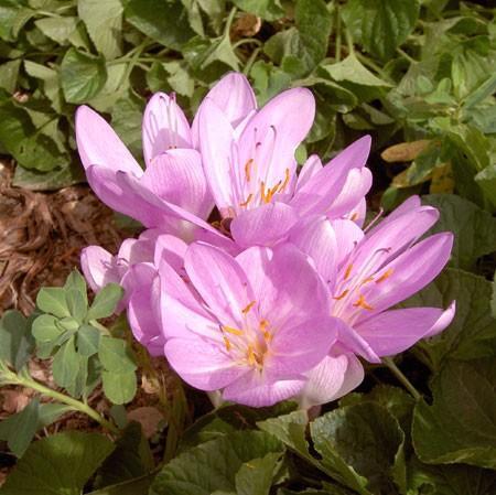 Bulbes floraison automnale colchique crocus le magazine gamm vert - Bulbes a floraison automnale ...